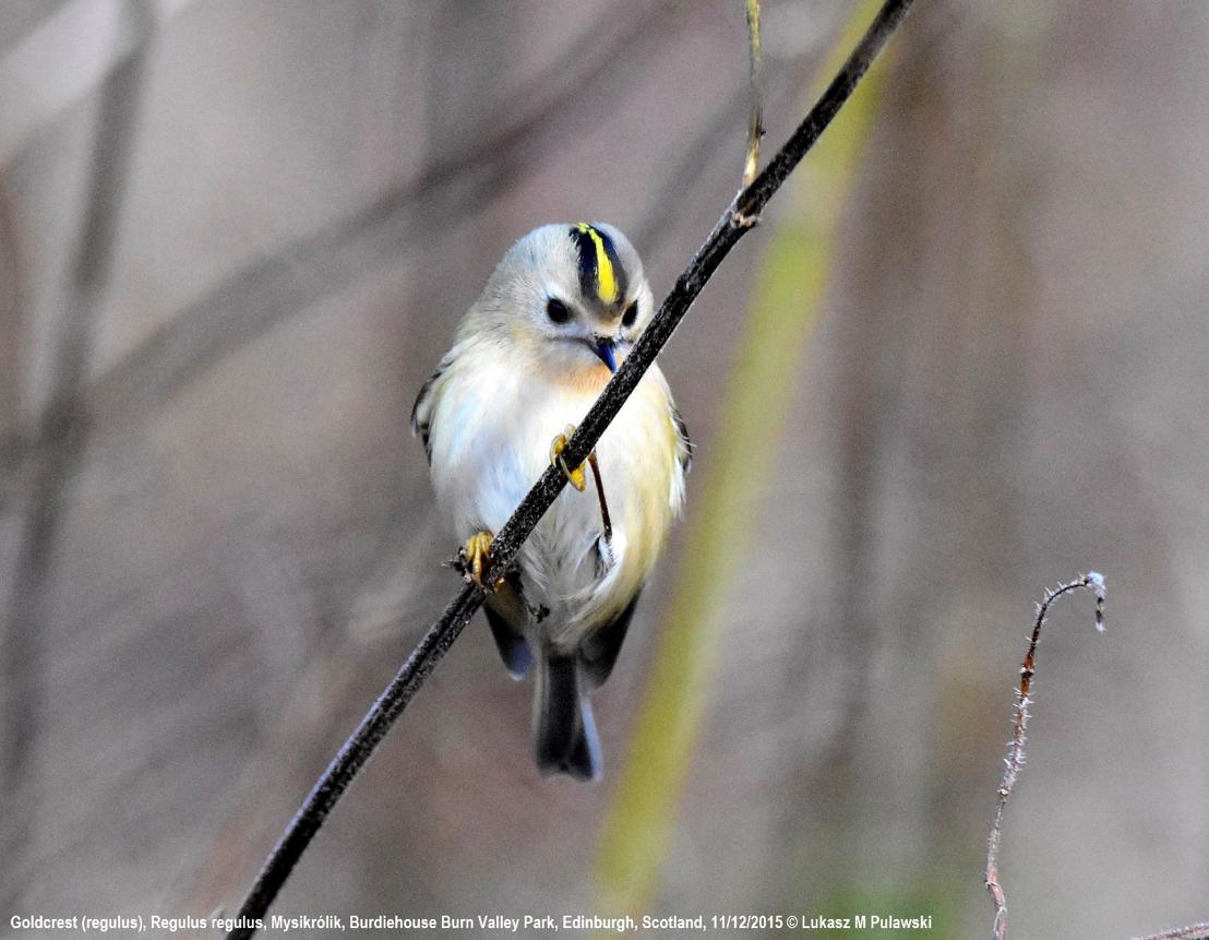 ดูนก birdwatching Goldcrest นกกระจิ๊ดกระหม่อมสีทอง