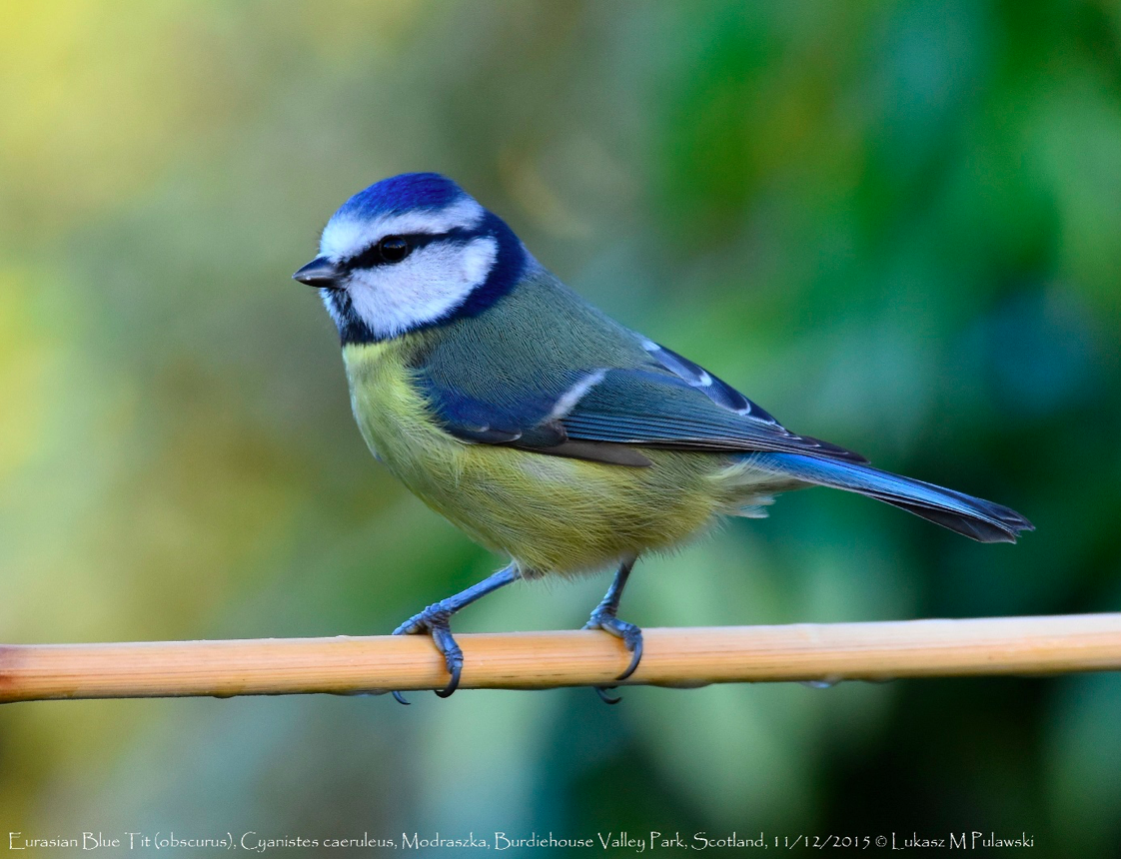 Birdwatching ดูนก นกติ๊ดสีน้ำเงิน Blue Tit