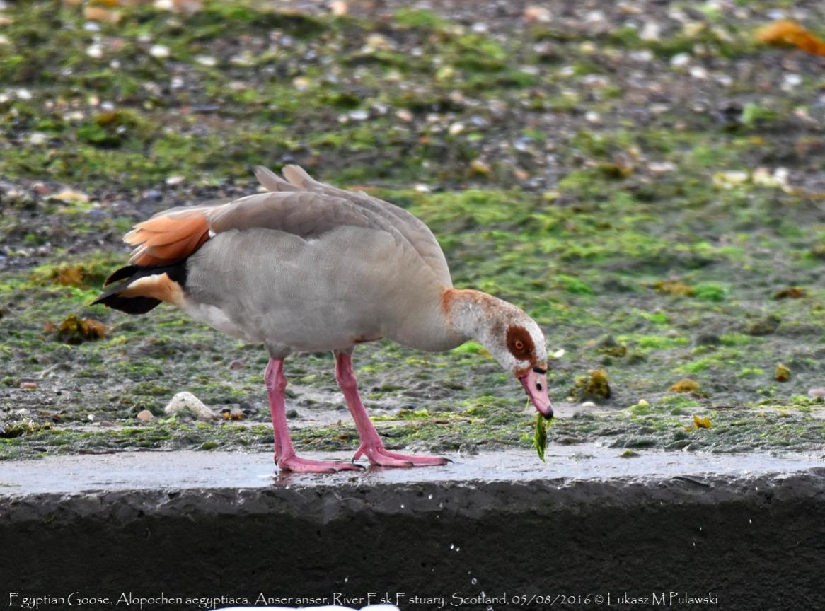 ห่านอียิปต์ Egyptian Goose ดูนก birdwatching