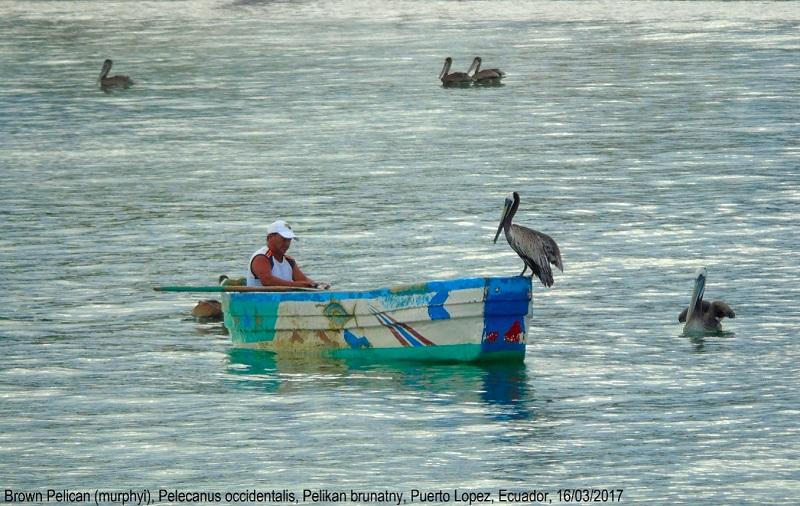 Birdwatching ดูนก นกกระทุงสีน้ำตาล Brown Pelican