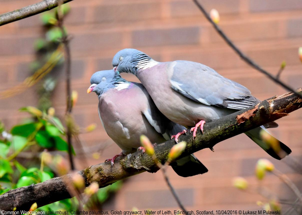 Common Woodpigeon พิราบป่า Birdwatching ดูนก